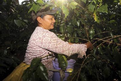 Cafeteros le piden nuevo apoyo directo al Gobierno