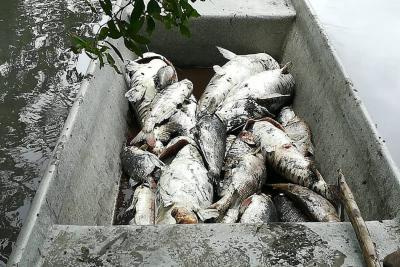 Denuncian nueva mortandad de peces en Santander