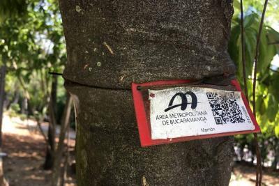 """""""En dos semanas se cambiarán guayas que 'estrangulan' los árboles"""" en Bucaramanga"""