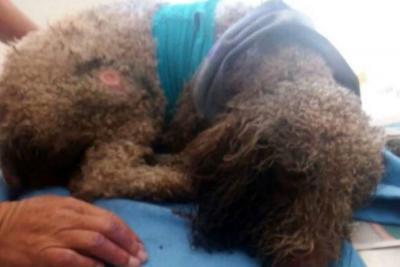 Buscan ayuda para salvar a perro malherido en Bucaramanga