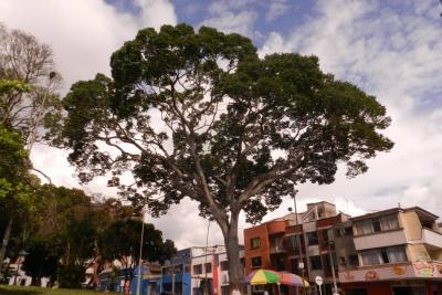 ¿Qué tanto conoce los árboles urbanos de Bucaramanga? Descúbralo aquí