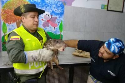 Policía rescata tinajo que fue atacado con piedras en Floridablanca