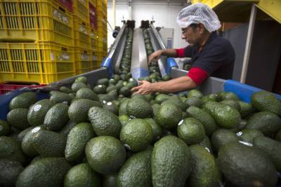 Aguacate hass sigue su senda exportadora hacia mercado de EE.UU.