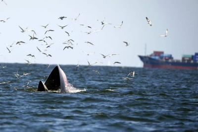 Japón cazó 122 ballenas gestantes