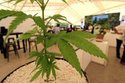 Senado canadiense aprobó el uso recreativo de la marihuana