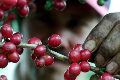 FNC promueve dos fórmulas para fertilización en el café