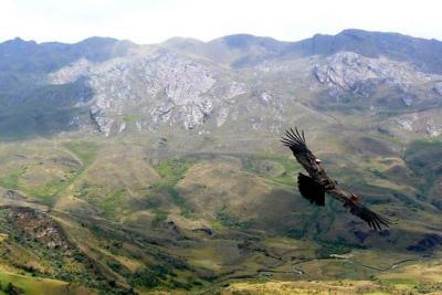 Dos cóndores murieron por intoxicación con plaguicida en la Sierra Nevada de Santa Marta