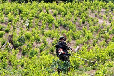 Tensión entre Colombia y Estados Unidos por aumento en cultivos de coca