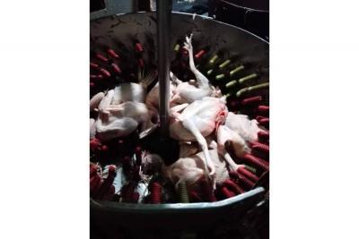 GEA y la Policía sellan un matadero ilegal de pollos en Bajo Ruitoque