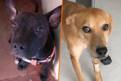 Dos perros que sobrevivieron al maltrato buscan hogar en Bucaramanga
