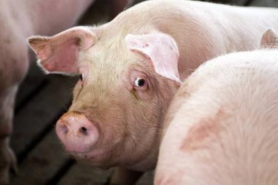 Sacrificio porcino aumentó  un 18% en Santander