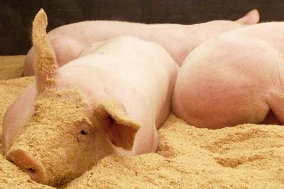 Vacunación obligada en  16 departamentos porcinos