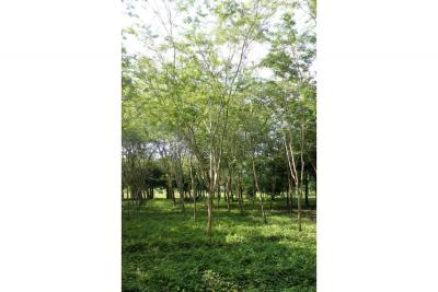 Cinco maderables finos entran a preservación