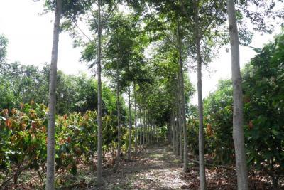 Sistema agroforestal en cacao, un paisaje natural productivo