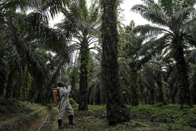 Palma crece 11% en área y 48% en producción en cuatro años