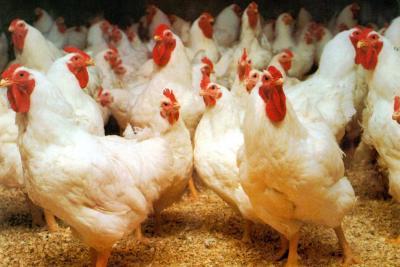 XIX Congreso Nacional Avícola se realizará en Santander