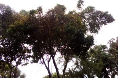 Árboles del parque siguen enfermos