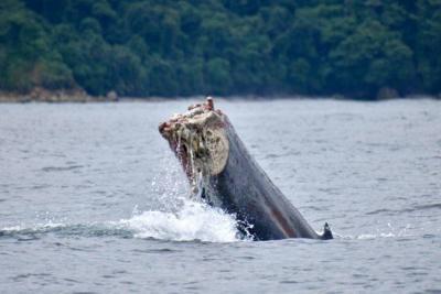 En Chocó una ballena perdió su cola por una red de pesca