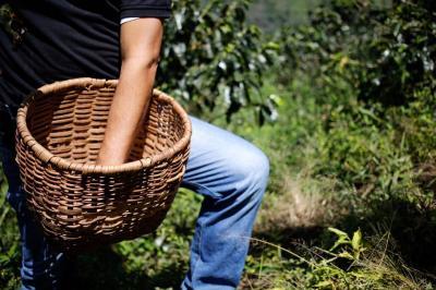 Por caída de precios, cosecha cafetera valdrá $1,4 billones menos que 2017
