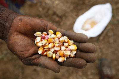 En maíz, Colombia podría suplir las importaciones