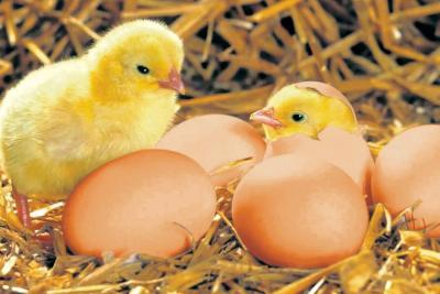Santander, epicentro de la máxima cita de la industria avícola