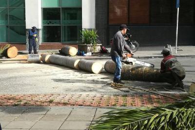 Por ser un riesgo para peatones, talan tres palmas en el Centro de Bucaramanga
