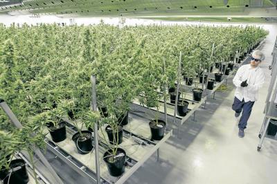 ¿Quiénes están detrás del negocio de la marihuana medicinal en Santander?