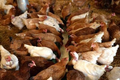 Granjas con más de 200 aves deben ser certificadas como bioseguras: ICA