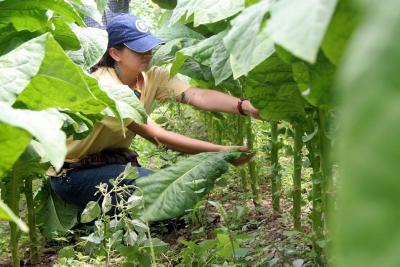 Fenómeno El Niño afectaría 20% de producción tabacalera de Santander