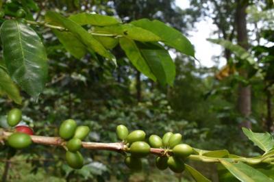 Unilibre, entre los mejores cafés orgánicos de Colombia