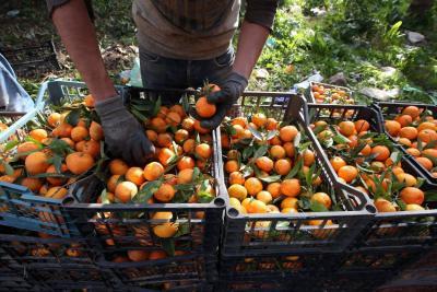 Efectos de HLB abre puertas a naranjas dulces en EE.UU.