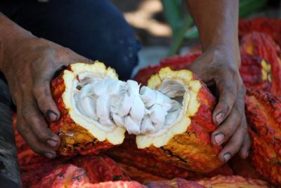Cacaoteros insisten en afiliarse a Icco en Santander