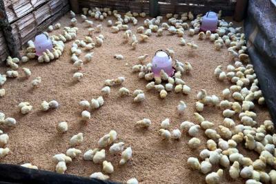 Secretaría de Agricultura trabaja en repoblamiento piscícola y aviar