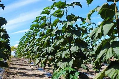 ICA suspende la importación y siembra de la 'Paulownia Tomentosa' en el país