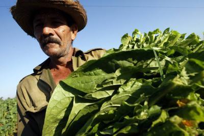La siembra de tabaco no se acoge a restricciones de OMS