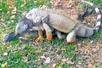 Analizan detalles de muerte de seis iguanas en Girón
