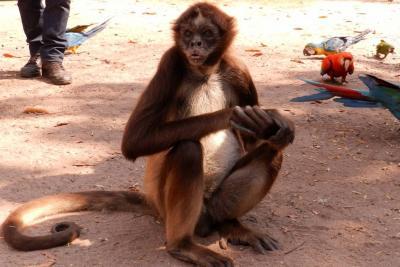 Mono aullador electrocutado en Santander recibió la eutanasia
