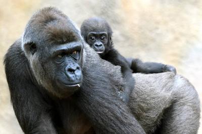 Ballena de aleta y gorila de montaña ya no están en peligro crítico extinción