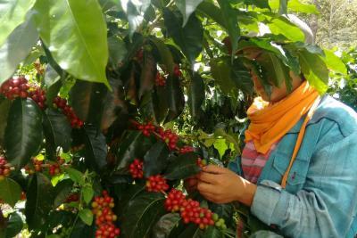 Cafeteros del país esperan producir 14 millones de sacos en 2019