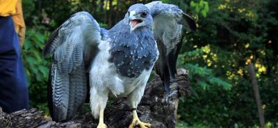 Tras 28 años en cautiverio, un águila fue recuperada en Santander