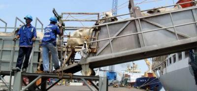 Liberarán exportaciones de ganado macho en pie