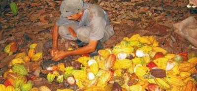 Cacaoteros piden al Gobierno fórmula para precios más justos