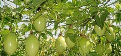 Pasifloras colombianas  no tiene mosca de la fruta