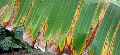 Sigatoka en plátano se quiere regar por el país