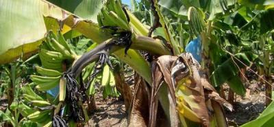 En Santander buscan existencia de moko en plátano