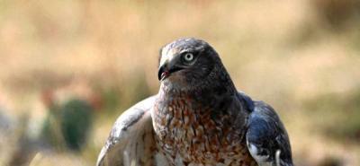 Con un gavilán buscarían espantar palomas del estadio Alfonso López