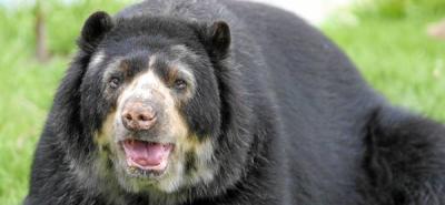 Mataron a tiros a un oso de anteojos en Antioquia