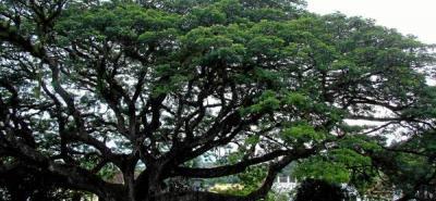 A la sombra del 'árbol del amor'