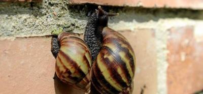 Activan alarmas por caracoles peligrosos