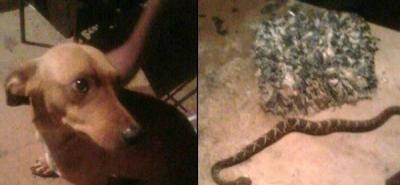 Por defender a su dueño, recibió mordida de una cobra